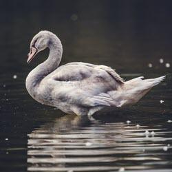 Gray Swans